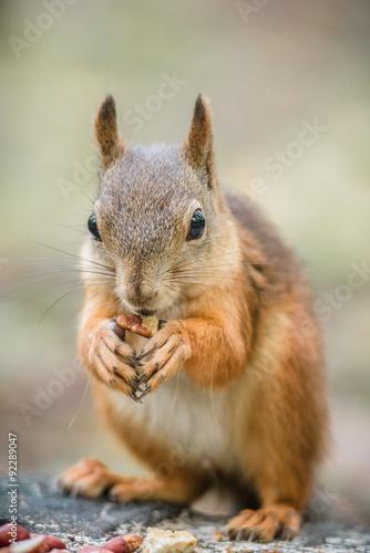 Fotobehang Eekhoorn Curious squirrel