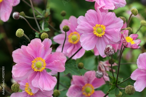 Anemone japonica Wallpaper Mural