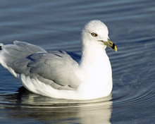 White And Gray Ring Billed Seagull Swimming On Calm Blue Waters