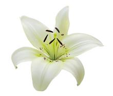 Single White Lily