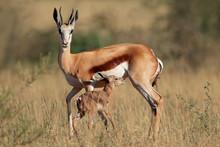 Springbok Antelope (Antidorcas Marsupialis) With Newly Born Lamb, South Africa.