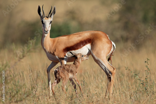 Poster Antilope Springbok antelope (Antidorcas marsupialis) with newly born lamb, South Africa.
