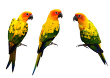 Set Of Beautiful Sun Conure, The Colorful Yellow Parrot Birds Is