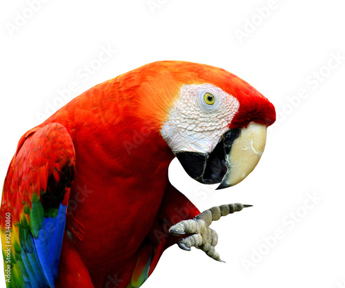 Photo  Scarlet Macaw bird showing its foot with funny stances isolated