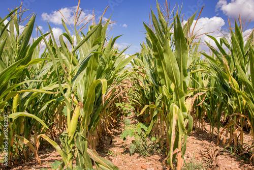 Valokuva  Corn field ready for harvest close up