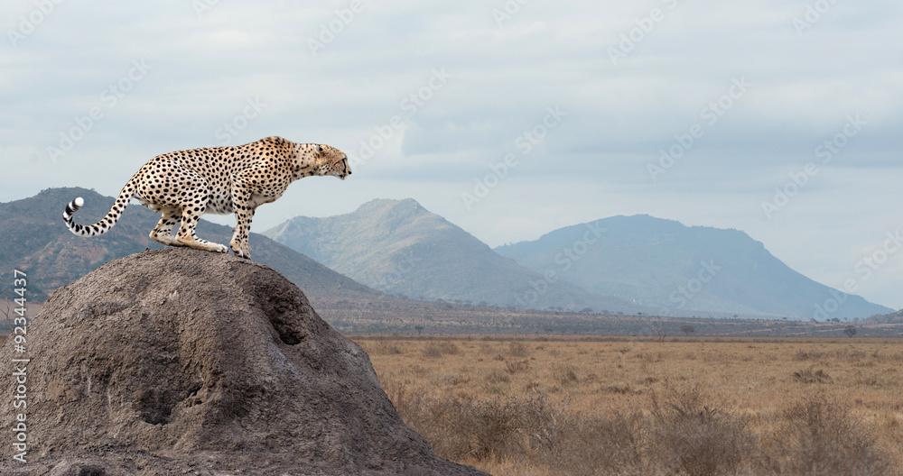Fotografie, Tablou  Cheetah