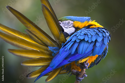 Fotobehang Papegaai Portrait of blue-and-yellow macaw (Ara ararauna)