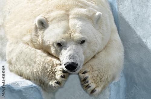 Белый медведь. Fototapet