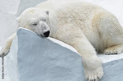 Fotografie, Tablou  Белый медведь.
