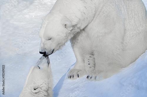 In de dag Ijsbeer Белые медведи целуются.