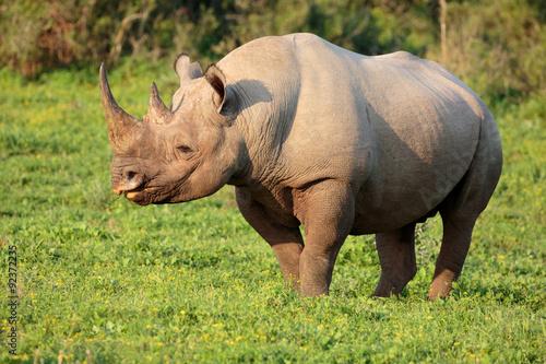 Staande foto Neushoorn Black Rhino