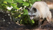 bat eared fox on the prowl