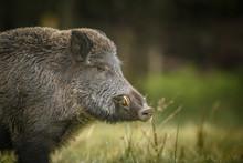 Wild Boar, Male, In Forest