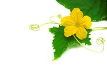 Leaf Cucumber With Flower