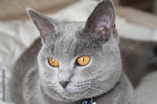 Jeune chat chartreux Canvas Print