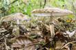 Nahaufnahme von zwei Parasolpilzen Macrolepiota