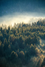 Misty Pine Forest On The Mount...