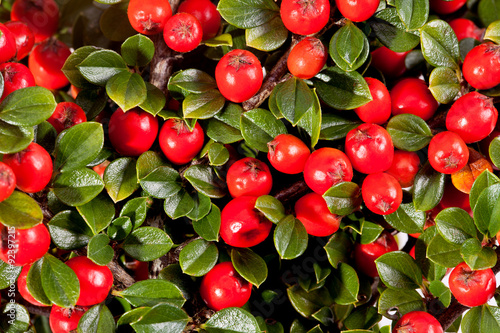 Valokuva  twing of cotoneaster with red fruit macro