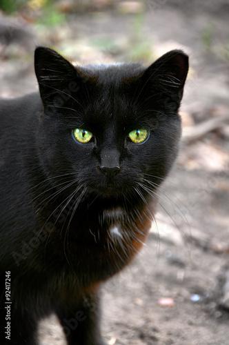Photo  Black cat  close-up