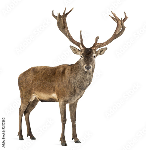 Fotobehang Hert Red deer stag in front of a white background