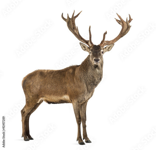 Photo sur Toile Cerf Red deer stag in front of a white background