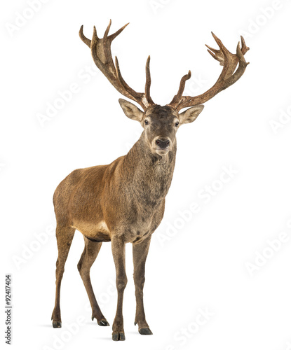 Foto op Canvas Hert Red deer stag in front of a white background