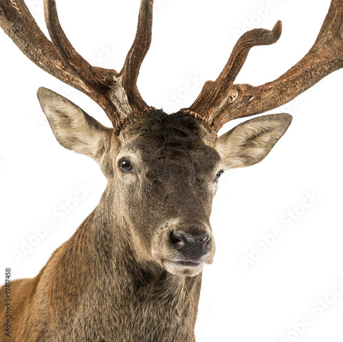 Aluminium Prints Deer Close-up of a Red deer stag in front of a white background