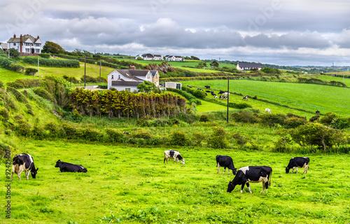 In de dag Lime groen Herd of cows in pasture in County Antrim of Northern Ireland