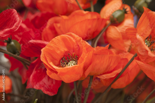 Fototapety, obrazy: Red Material Poppies Flowers