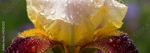 Spoed Foto op Canvas Iris closeup yelow maroon iris with water drops in the garden after rain