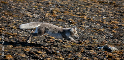 Photo Stands Pole Arctic fox in summer season