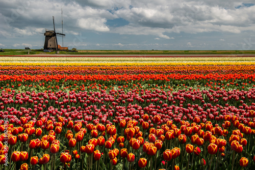Poster Molens Wind mill with a tulip culture, Netherlands