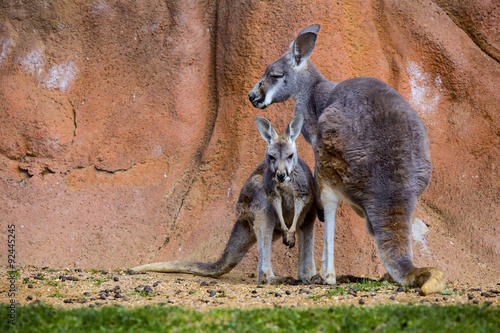 In de dag Kangoeroe female with young, Red Kangaroo, Megaleia rufa