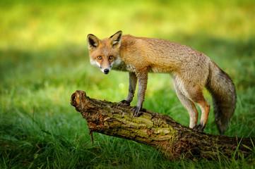 Fototapeta Red fox standing on tree trunk