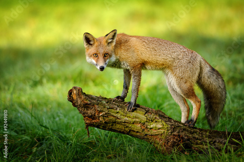 Fotografia Red fox standing on tree trunk