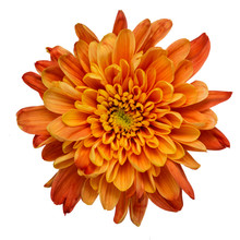 Orange Chrysanthemum Isolated