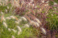 Different Ornamental Grasses.