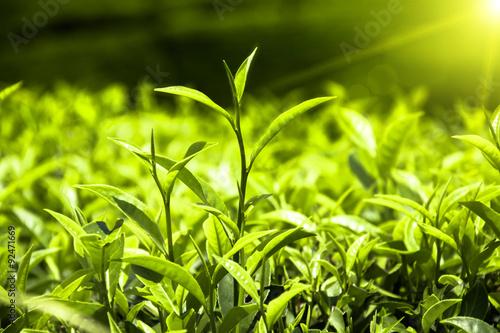 Fotografia Fresh tea leaves