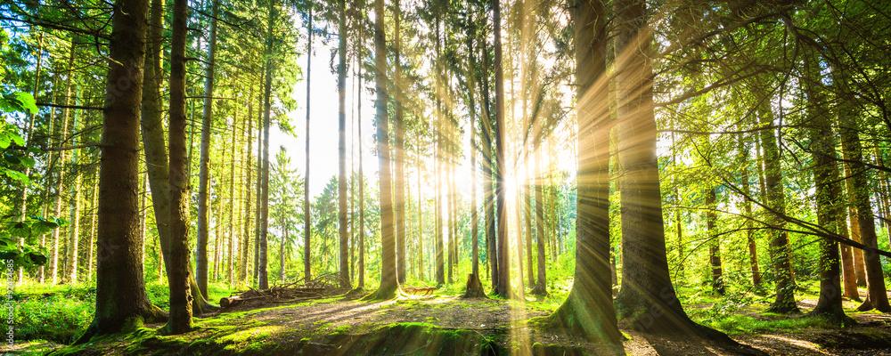 Fototapeta Wald Panorama mit Sonnenstrahlen
