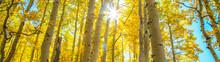 Sunburst In Aspen Grove
