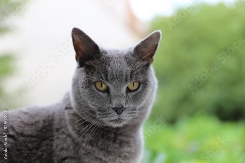 Photo Jeune chat chartreux