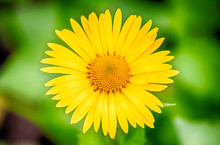 Yellow Daisy On A Green Background