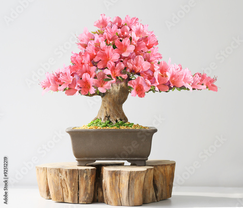 Montage in der Fensternische Bonsai blooming bonsai azalea in spring season on exhibition