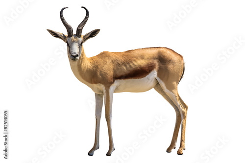 Photo sur Aluminium Antilope Springbok