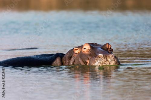 hipopotam-w-waterhole