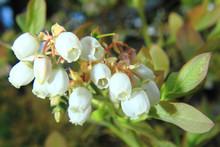 Blueberries Flowers