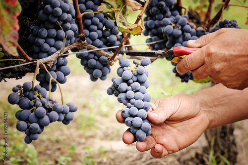 Photo  cutting ripe grape