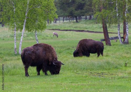 Vászonkép  Aurochs in the birch forest.