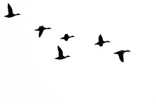 Flock Of Ducks Silhouetted On ...