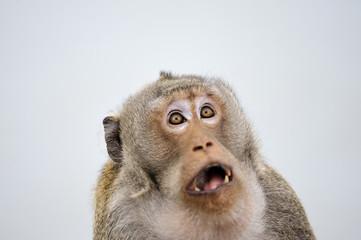 Fototapeta Monkey emotion surprise full face .